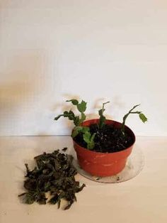 How to Revive a Neglected Christmas Cactus ~ Southern Gardening Gal Christmas Cactus Plant, Easter Cactus, Water Plants, Cactus Plants, Planting Ginger Root, Potting Soil, Houseplants, Compost, Indoor Plants