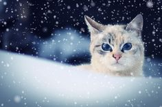 Snow Cat by Plamen Kojuharov on 500px