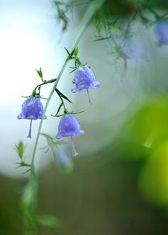 Adenophora triphylla - looks like little bells :)
