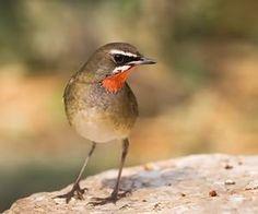 飼養紅靛頦的方法及建議  導讀:紅點頦又名、紅頦、點頦、紅喉歌鴝。是食蟲鳥,常食直翅目、半翅目、膜翅目等昆蟲及幼蟲和少量植物性食物。由於比較難以飼養、且壽命比較短(約5年),所以飼養者不太多。如何飼養一起來了解。