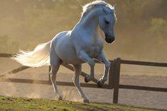 Grey Mangalarga stallion