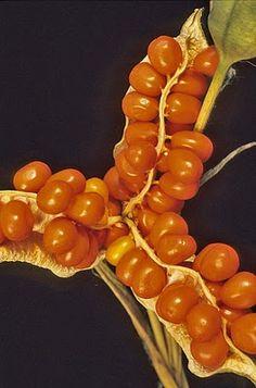 Stinking Iris (Iris foetidissima) vibrant #orange #seeds