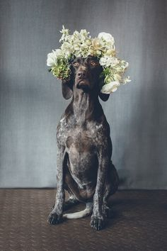 Dogs in flower crowns - pets in weddings ⎟I Heart Weddings and Flower Talk ⎟ see more on: http://burnettsboards.com/2015/10/dogs-flower-crowns/