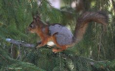 Red squirrel changing to summer fur