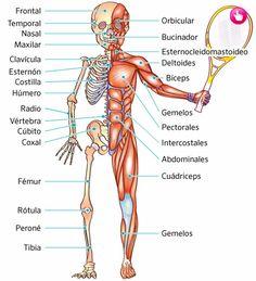 El sistema locomotor es el conjunto de estructuras corporales que trabajan en sincronía para permitir el movimiento del cuerpo humano. Este complejo sistema da forma y consistencia al cuerpo y permite a las personas interactuar con el medio que les rodea mediante el movimiento y la locomoción. Está formado por el sistema osteoarticular, que se compone de huesos, articulaciones y ligamentos, y el sistema muscular, que está compuesto por músculos y tendones. Human Body Parts, Teacher Quotes, Dory, Biceps, Anatomy, Massage, Homeschool, Medicine, Muscle