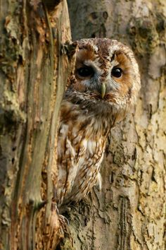 Tawny Owl by Sweetmart