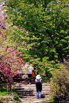 작고 소박한 절 개심사 꽃대궐 서산 상왕산 개심사 겹벚꽃 청벚꽃 둘러보기 ◆ 참고 2016년 4월 25일 현재 문수사와 개심사의 겹벚꽃은 한창 만개했습니다. 이번주에는 차차 꽃이 질것으로 예상됩니다 오래전 서산 가야산 일락산 산행을