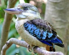 Blue Winged Kookaburra – Berry Springs – Northern Territory – Australia. Blue-winged Kookaburra - Cool and Interesting Facts for Kids