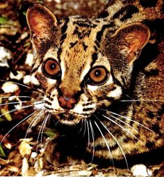 Marbled Cat (Pardofelis marmorata), a small wild cat of South and Southeast Asia.