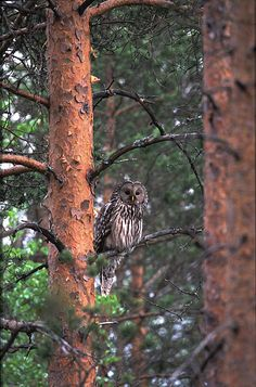 Ural Owl (Strix uralensis). Photo by José Santana. Northern Europe from Norway, Sweden, Finland and the Baltic Republics through northern Russia and Siberia to Korea, coast of the Okhotsk Sea, Sakhalin and Japan. Also locally in Poland, Czech Republic, Slovakia, Slovenia, Croatia and Balkan countries.