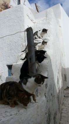 The cats of Santorini