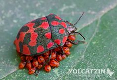 This spectacular spotted red bug is our Rangers' Spotting of the Week! Spotted by Eduardo Axel Recillas Bautista: