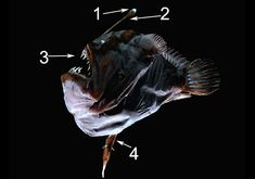 Natural but Odd Chimera:  Anglerfish (see also Triplewart Seadevil).  Small parasitic male attaches to female and never lets go.  His circulatory system fuses with hers and all his organs-except his reproductive system-shut down.  At this point she is functionally one organism.