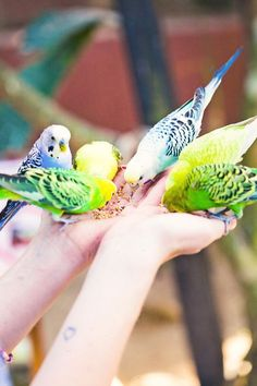 I love parakeets. I've had several over the years and they each had their own unique personality. The last one I had was the most talented ordinary blue & white parakeet. My son & I taught him to do tricks & to dance. He was so much fun!