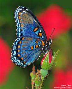 October is National Butterfly snd Hummingbird Day. Red Spotted Purple Butterfly, photographed by Steven Smith, courtesy of National Wildlife Federation. Butterfly Kisses, Purple Butterfly, Butterfly Flowers, Beautiful Butterflies, Butterfly Canvas, Flying Flowers, Butterfly Pictures, Photos Of Butterflies, Butterfly Wallpaper