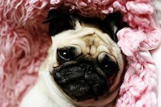 ahaha pug princess