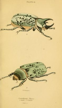 The natural history of beetles, 1852, James Ducan, William Jardine, and engravings by W.H. Lizars.