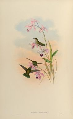 Hummingbirds ~ c1849, Vol V