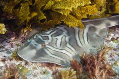Eastern Fiddler Ray - Montague Island NSW Australia