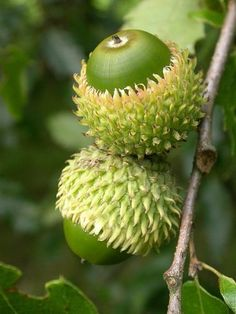 ** oak tree acorns -Quercus libani seeds