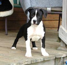 Google Image Result for http://www.bulldogbreeds.com/breeders/pics/american_staffordshire_terrier_8686.jpg