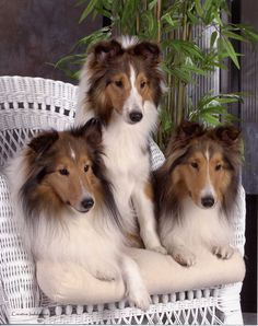 Lovely Shetland Sheep dogs
