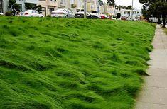 PT 701 Let It Grow Grasses--A No Mow