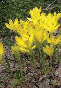 Old House Gardens Heirloom Bulbs Sternbergia lutea Yellow Crocus, Yellow Plants, Yellow Flowers, Fall Perennials, Bulbous Plants, Architectural Plants, Gardening Zones, Blooming Plants, Fall Plants