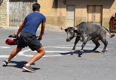 Santacara: Vacas de Pedro Dominguez Año 2015 (3) Running, Sports, Cows, Hs Sports, Keep Running, Why I Run, Sport