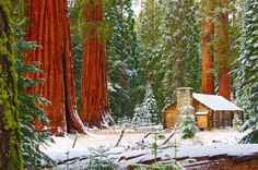 A full size museum looks like a toy building next to the sequoias - MARIPOSA GROVE, YOSEMITE