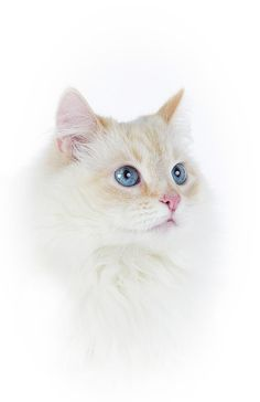 . Kittens And Puppies, Cats And Kittens, Cutest Cats Ever, Cat Heaven, Cat Photography, White Cats, Portraits, Beautiful Cats, I Love Cats