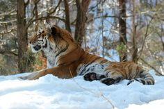 Siberian tiger  #animal #siberian #tiger
