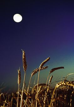 Wheat Field At Night Under The Moon