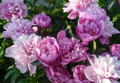 Flower Art, Peonies, Projects To Try, Bloom, Wall Decor, Plants, Romanian Food, Gardens, Cottage