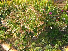 An eight-foot square bed filled with #abelia, #irises, #heather, #zinnias, #dianthus, #sedum, and #perennialgeraniums. http://soupedupgarden.blogspot.fr/2012/08/how-to-make-mirabelle-plum-jamand.html#