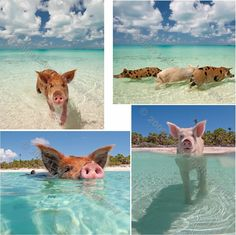 I can't stop laughing at these!!!! HAHA! Isn't it cute? ;) Swimming Pig Collection 8x10 Fine Art Photos (4) Wall Decor