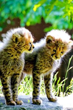 I'm going to have a cheetah for my pet when I grow up!