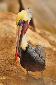 Punk Pelicans - La Jolla, California