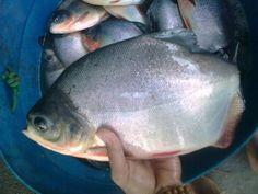 perbedaan ikan bawal jantan dan betina