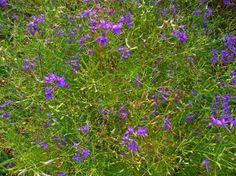 Живокость полевая — Delphinium consolida L - 19 Ноября 2015 - Лечебные травы - Народная медицина