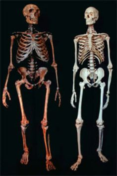 Neanderthal and modern human skeletons. Remember kids, Homo Sapiens did not evolve from Neanderthals. They were two distinctly different species. Neanderthals are now believed to have partially co-existed with Cro-Magnons and may even have interbred. Religions Du Monde, Biological Anthropology, Forensic Anthropology, Homo Habilis, Early Humans, Human Skeleton, Human Evolution, Charles Darwin, Creepy