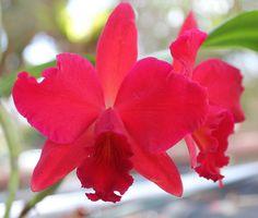 SophroLaelioCattleya 'Hazel Boyd' - A Notho-genus of artificially created Inter-generic Orchid-hybrid [thru breeding] - abbreviated in the horticultural trade as Slc.