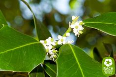 Bach flower remedy Holly. The Bach Flower Essence Holly is an effective way to treat individuals struggling with malevolent feelings. #bachflowerremedies #holly #edwardbach