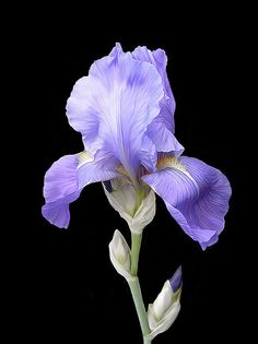28 Ideas eye iris purple for 2019 Exotic Flowers, Purple Flowers, Beautiful Flowers, Botanical Art, Botanical Illustration, Flower Meanings, Iris Garden, Flower Photos, Belle Photo