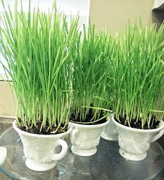 Grow wheat grass for Easter centerpiece.  Takes about 10 days