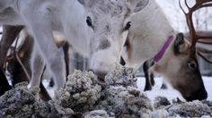 It's been almost 30 years since the catastrophic meltdown of the Chernobyl nuclear power plant in Pripyat, Ukraine, and the deadly explosion continues to have lingering effects on the environment. Nearly 1,000 miles away from ground zero of the disaster, reindeer in the unruffled central Norwegian pastures have been becoming more contaminated with radiation as time passes.