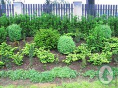 Thuja Smaragd, Plants, Plant, Planets