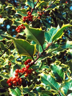 Holly Care Tips --> http://www.hgtvgardens.com/shrubs/good-golly-holly-grow-and-care-for-this-traditional-holiday-bush?soc=pinterest