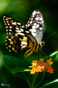 ~Black & white butterfly~