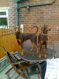 "Natural ears and tail, beautiful ""red"" Dobermans --- this is the kind i want, no docked ears"